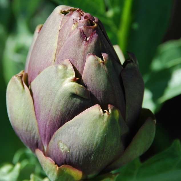 Artichoke, (actually a flower)
