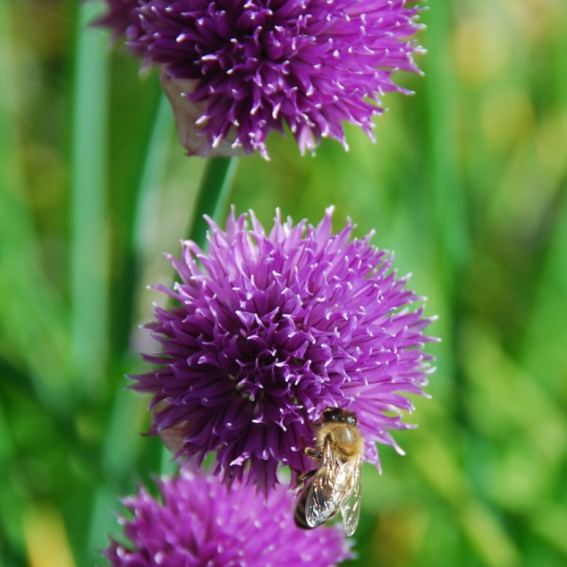 Chives....almost a weed