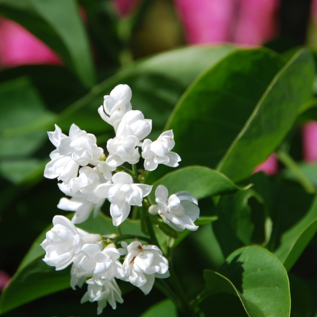 White Lilac, (her scent is fantastic, too bad I have a cold right now, too hopped up on medication to smell anything)