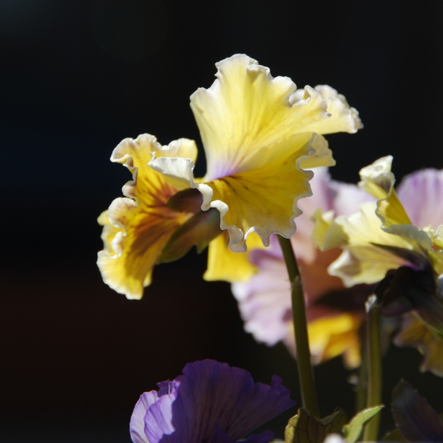 Pansies - the most reliable beauty in the garden