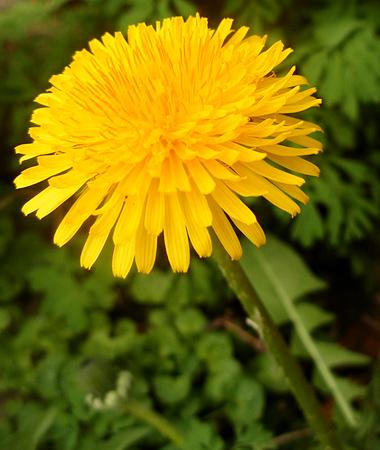 Common-Weeds-Dandelion